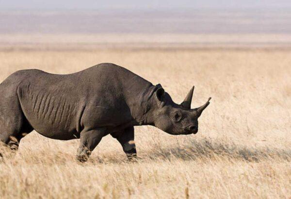 Ngorongoro_Spitzmaulnashorn-1024×700